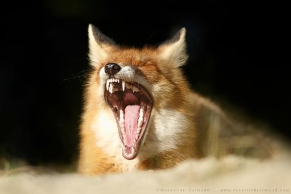 2014-08-14-teeth_fox.jpg