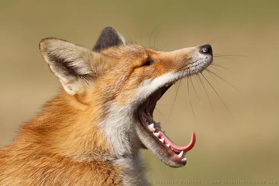 2014-08-14-yawning_fox.jpg