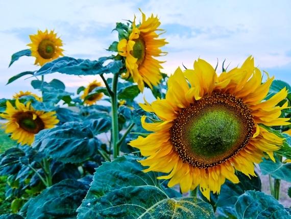 2014-08-17-Sunflowers.jpg
