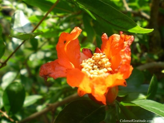 2014-08-17-TheDelightsofourLives_pomegranateblossom2.jpg