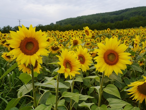 2014-08-18-Sunflowers.jpg