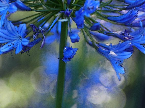 2014-08-20-bluedelightipiccy.jpg