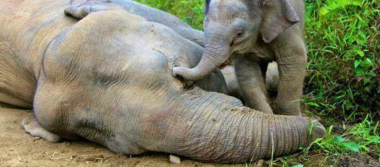 2014-08-25-ElephantsMourningEarthDrReeseHalter
