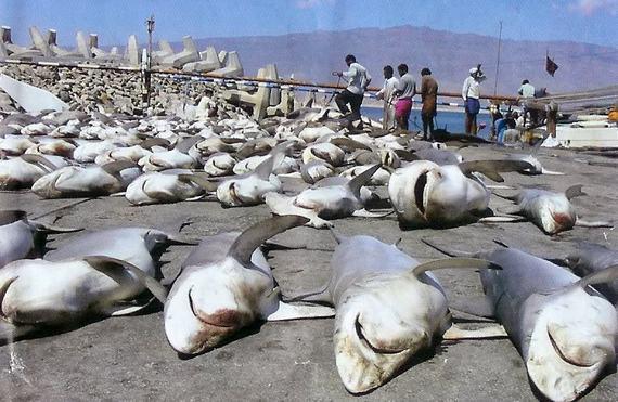 2014-08-25-SharkFinningEarthDrReeseHalter