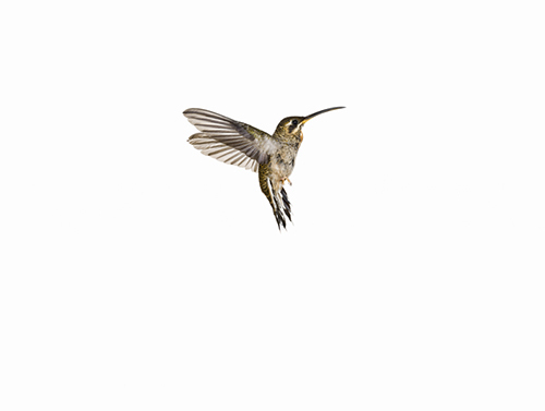 2014-08-25-cmrubinworldhummingbirdsanna2500.jpg