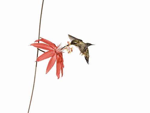 2014-08-25-cmrubinworldhummingbirdsanna500.jpg