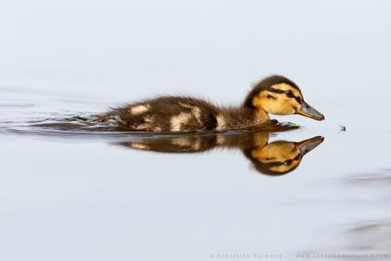 2014-08-28-chasing_duckling.jpg