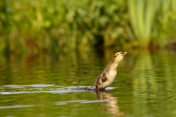 2014-08-28-duckling_insect.jpg