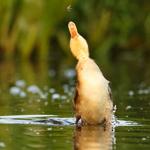 2014-08-28-duckling_jump.JPG