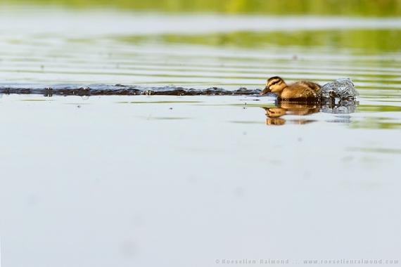 2014-08-28-duckling_racing.jpg