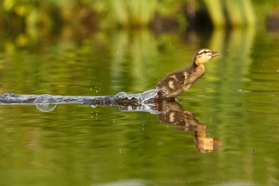 2014-08-28-young_duckling_insect.jpg