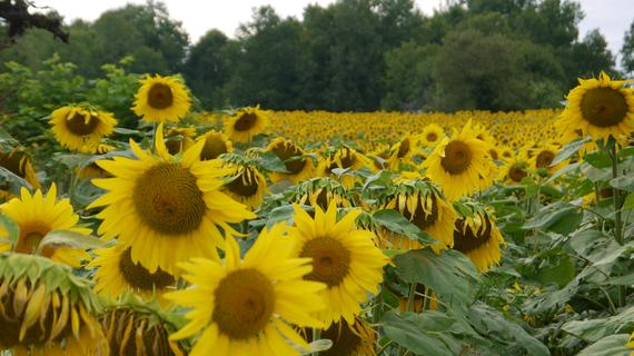 2014-09-01-Sunflowerscopy.jpg