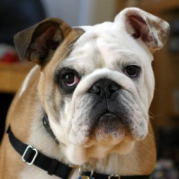 2014-09-03-Clyde_The_Bulldog.jpg