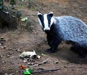 2014-09-08-badger_HSI_StuartMatthews_180x154copy.jpg