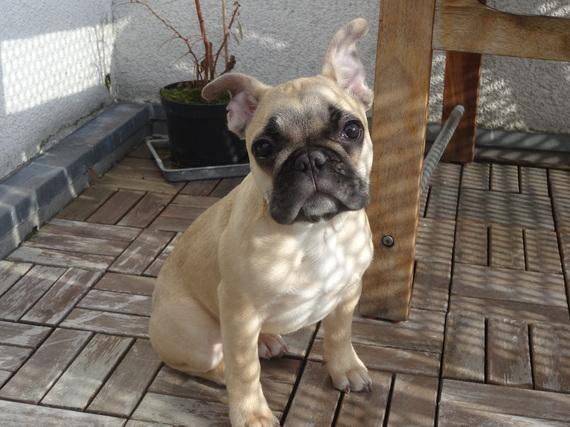 Resultado de imagen para french bulldog Hund Er sieht dir in die Augen