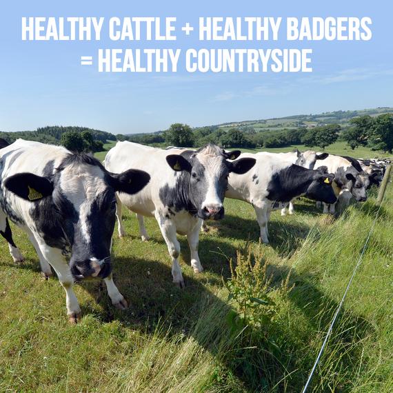 2014-09-09-HealthyCattleHealthyBadgers.jpg