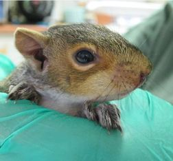 This baby squirrel fell from her nest and landed on her head, breaking her front teeth in the process. Photo by Alison Hermance