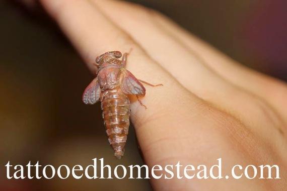 2014-09-10-cicada2.jpg