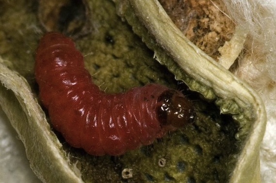 2014-09-13-caterpillar_AlexYelichUniversityofArizona_mid.jpg