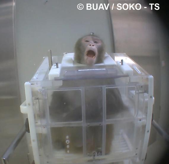 2014-09-16-BUAV_Soko_TS_monkey_restrained_by_neck_in_device.jpg