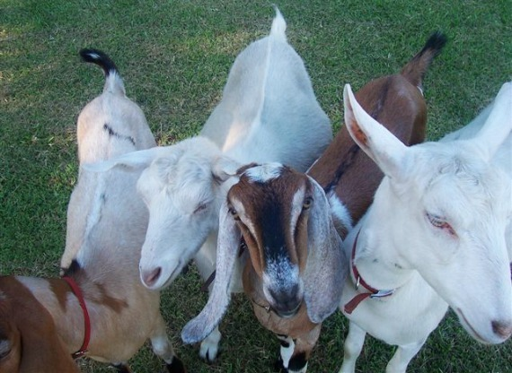 2014-09-17-goats_leanne_faulkner.jpg