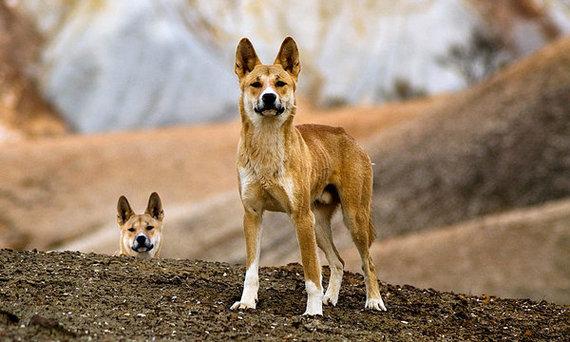 2014-09-21-DingoesEarthDrReeseHalter18