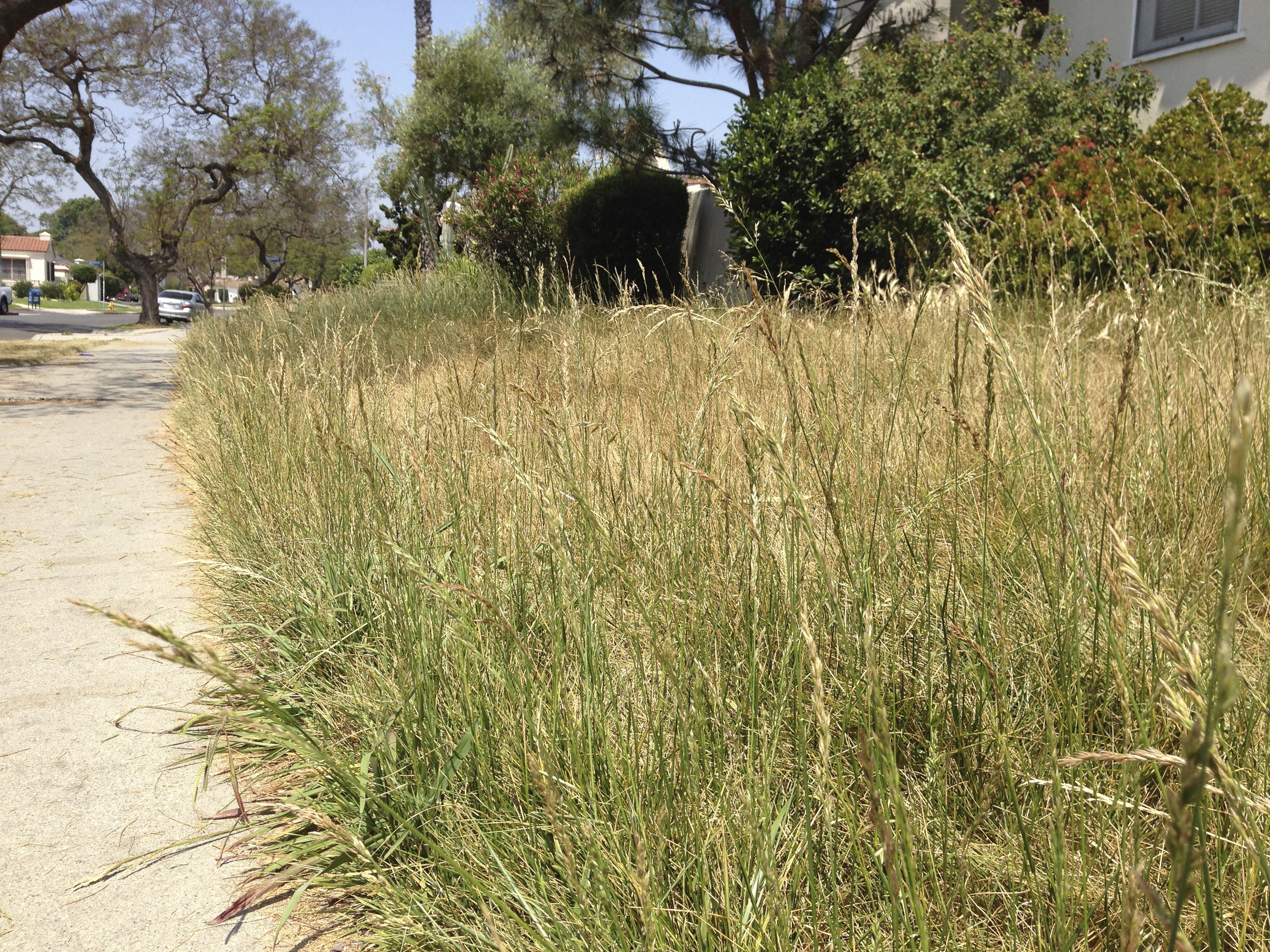 An open letter to my neighbors regarding drought and my for Long grass landscaping