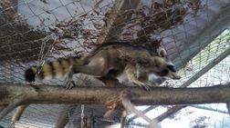 The little raccoon is on the move within days of the surgery. Photo by Melanie Piazza