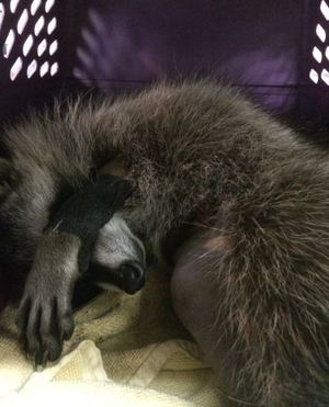 This young raccoon sleeps off her anesthesia. Photo by Kate Lynch