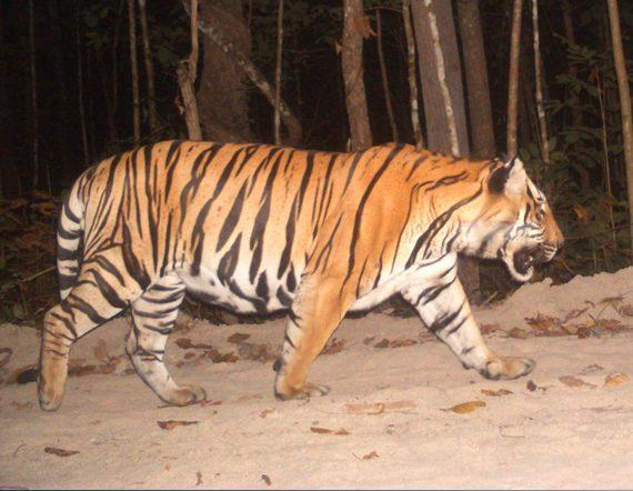 2014-09-27-Tigercameratrap.jpg