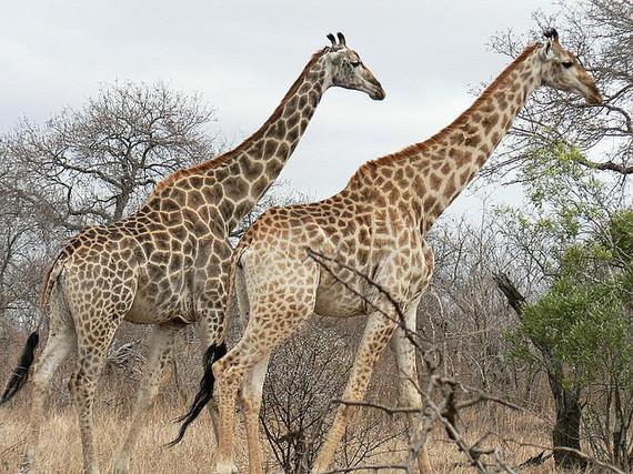 2014-09-29-giraffes_562656541651651561.jpg