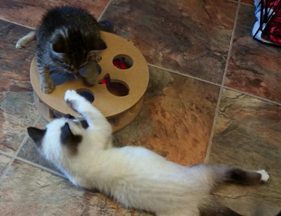 Images How Tanzy the Paraplegic Kitten Surprised Everyone 3 Pet Adoption
