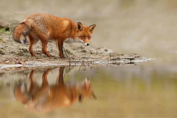 2014-10-02-fox_reflections.JPG
