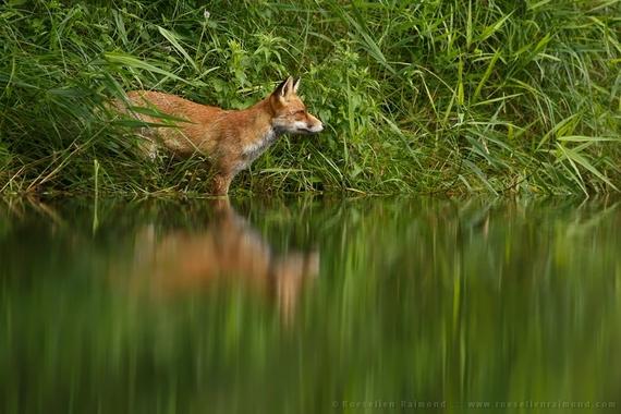 2014-10-02-fox_water.jpg