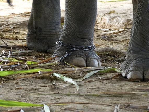 2014-10-03-ElephantchainedinThailandcRoosPols.jpg