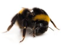 2014-10-08-BumblebeeSubbotinaDreamstime.com.jpg