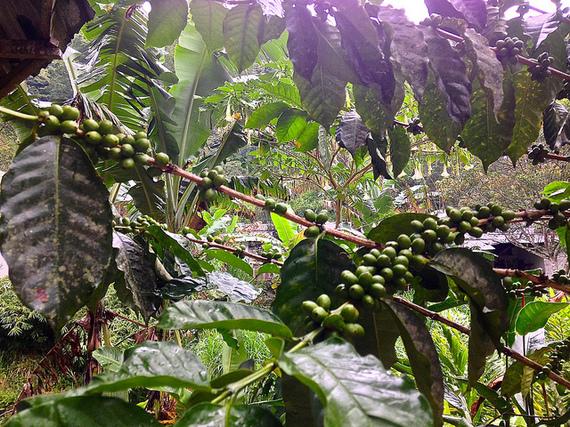 La Victoria coffee plants in Minca Colombia