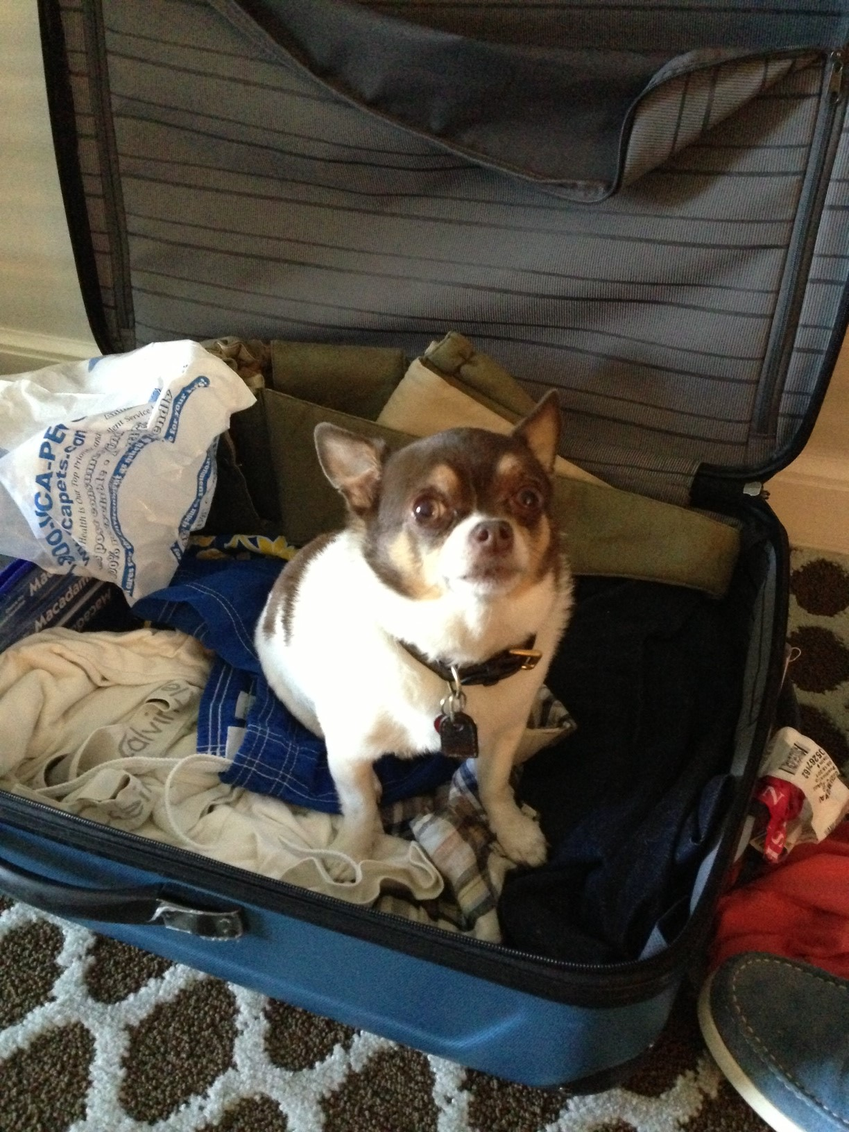 Chihuahua In A Suitcase Huffpost