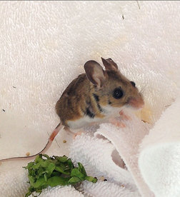 The now-recovered mouse at WildCare. Photo by Alison Hermance