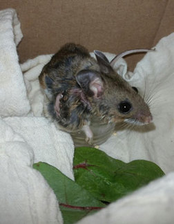 Deer Mouse at WildCare shows the bot fly warbles infesting her skin. Photo by Melanie Piazza