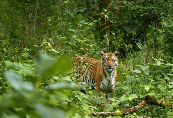 2014-11-09-Tiger3_KalyanVarmacropped.jpg
