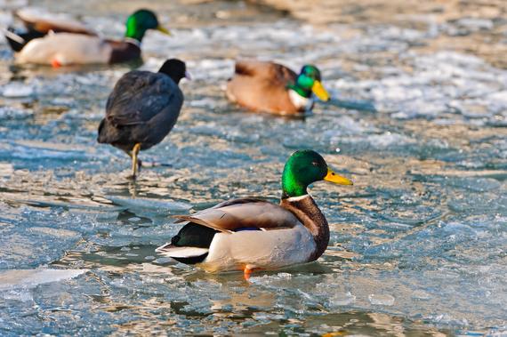 2014-11-09-ducksinwater.jpg