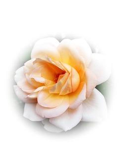 2014-11-11-rose424538_640.jpg
