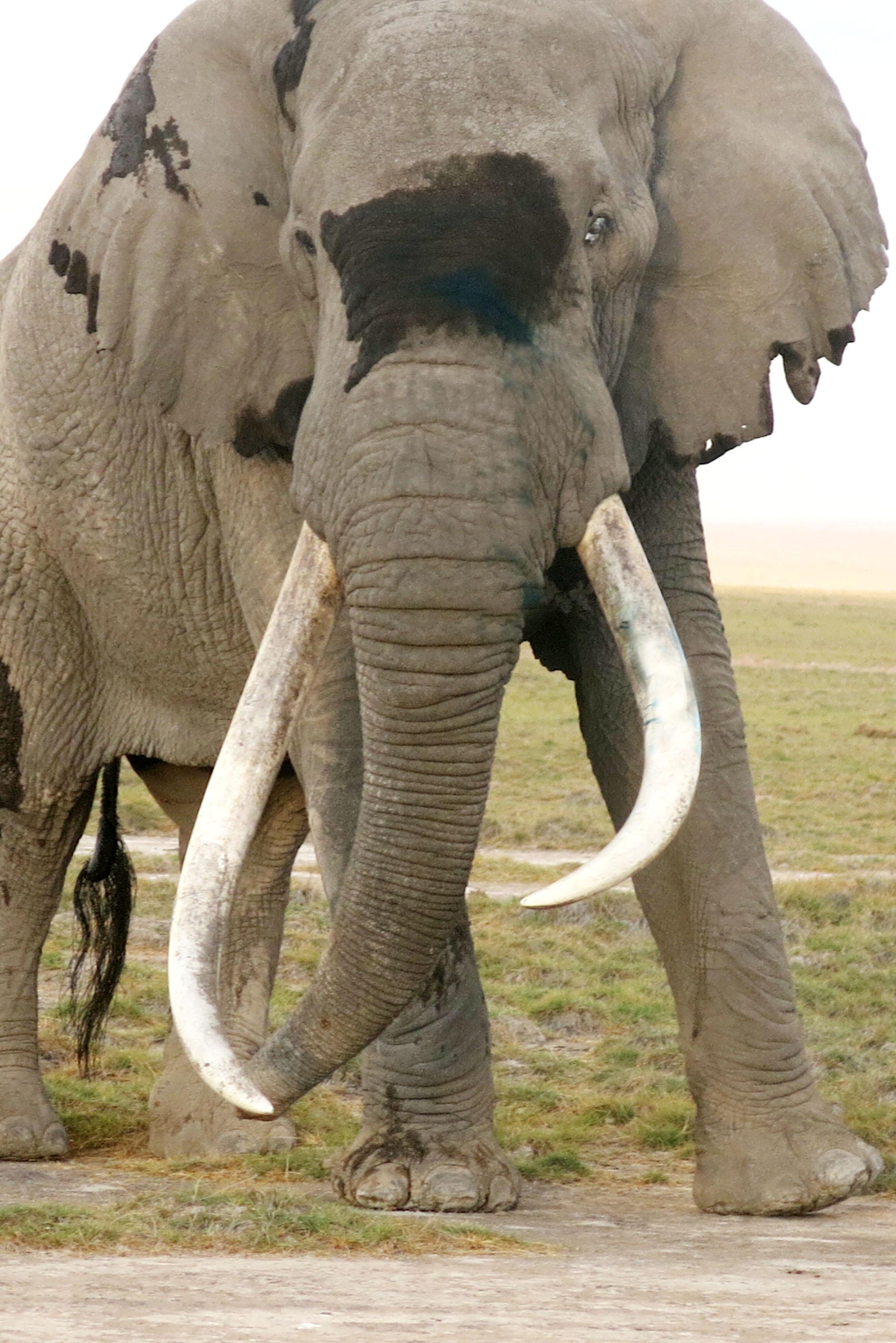 Treating a Giant Bull Elephant Named 'Tim'!  Treating a Gian...
