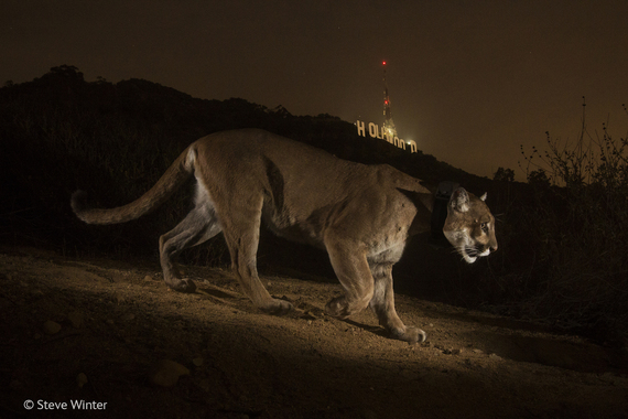 2014-11-18-WPY20143HollywoodCougar.jpg