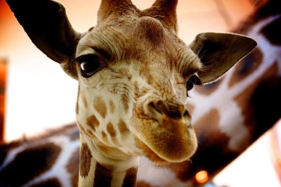 2014-11-18-giraffe5545645465465465.jpg