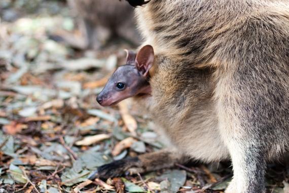2014-11-18-marsupialforarticle.jpg