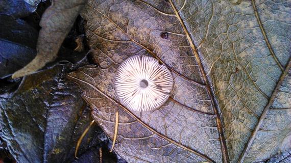 2014-11-23-Mushroomonleaf.jpg