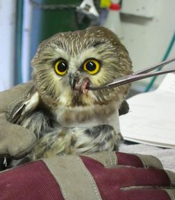 The owl is offered food on tweezers. Photo by Alison Hermance