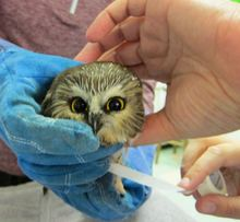 Wrapping the owl's wing. Photo by Alison Hermance